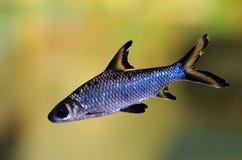 Bala shark aquarum fish. Bala shark is aquarum fish Royalty Free Stock Images