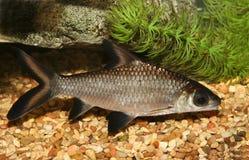 Bala shark fish. royalty free stock images