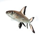 Bala Shark or Silver Shark. (Balantiocheilus melanopterus) isolated on white Royalty Free Stock Photo