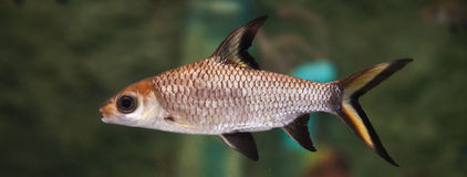 Bala Shark or Silver Shark. In an aquariumnin Royalty Free Stock Photo