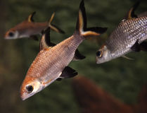 Bala Shark or Silver Shark. In an aquariumnin Stock Image