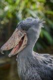 Balaeniceps rex - African rare bird Royalty Free Stock Photos