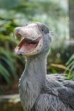Balaeniceps rex - African rare bird Stock Photos