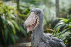 Balaeniceps rex - African rare bird Royalty Free Stock Photo