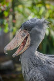 Balaeniceps rex - African rare bird Royalty Free Stock Photography