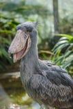 Balaeniceps rex - African rare bird Stock Image