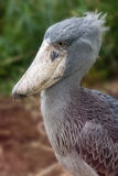 balaeniceps rex shoebill Obrazy Royalty Free