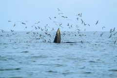 Balaenoptera brydei. In the Gulf of Thailand stock photography