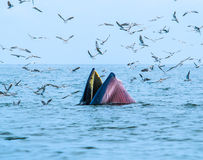 Balaenoptera brydei. In the Gulf of Thailand stock photo