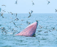 Balaenoptera brydei. In the Gulf of Thailand stock images
