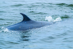 Balaenoptera brydei. In the Gulf of Thailand royalty free stock image