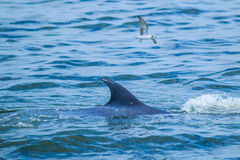 Balaenoptera brydei. In the Gulf of Thailand royalty free stock images