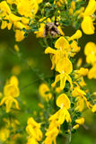 Balai écossais dans la fleur Photos stock