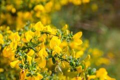 Balai jaune Images libres de droits