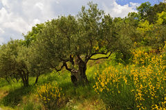 Balai jaune avec vieille Olive Trees Images stock