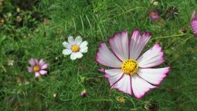 Balanço da flor do cosmos vídeos de arquivo