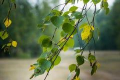 Balanço dos ramos do vidoeiro no vento Fotografia de Stock