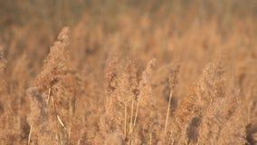 Balanços amarelos secos bonitos do bastão da mola no vento, fundo vídeos de arquivo