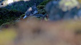 Balance o lagópode dos Alpes, muta do Lagopus, sentando-se em uma inclinação de montanha nos quartzos defumados NP durante o outo video estoque