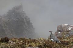 Balance o lagópode dos Alpes que admira a vista de Sgurr um Fhidhleir fotografia de stock