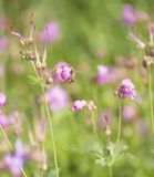 Balance o macrorrhizum do ` s Bill Geranium do guindaste com abelha foto de stock