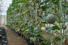 balance o melão na exploração agrícola, cresça o melão da rocha Imagens de Stock