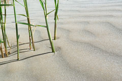 Balanced composition of reed and sand dune Royalty Free Stock Image