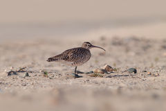 Balanced Curlew. A curlew in it`s natural habitat, standing on it`s one leg stock photos