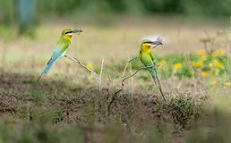 Balanced: Pair of Blue Tailed Bee Eaters with dragon fly stock images
