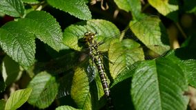 Dragonfly resting on beach rose stock footage