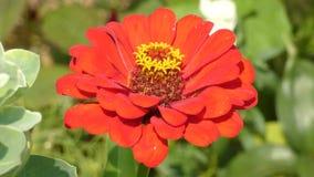 Balancement de fleur de Zinnia dans le vent banque de vidéos