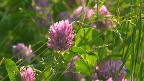 Balancement de fleurs et d'herbe de trèfle dans le pré banque de vidéos