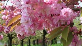 Balancement rose de fleurs de cerisier dans le vent banque de vidéos