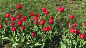 Balancement rouge de plan rapproché de tulipes dans le vent dans la perspective de l'herbe verte banque de vidéos