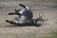 Balanceo alegre de la mula en la tierra imagen de archivo libre de regalías