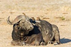 Balanceo cansado del toro del búfalo del cabo en la charca de agua a refrescarse abajo Imagenes de archivo