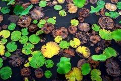 Balanceo cristalino del agua en la hoja colorida del loto imagenes de archivo