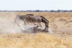Balanceo de la cebra en la arena blanca polvorienta Fotografía de archivo