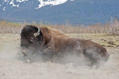 Balanceo de madera del bisonte en suciedad Fotos de archivo libres de regalías