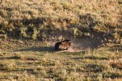 Balanceo del bisonte en el polvo Fotos de archivo libres de regalías