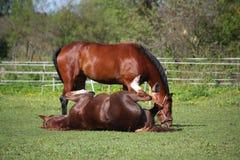 Balanceo del caballo de la castaña en la hierba en verano Foto de archivo libre de regalías