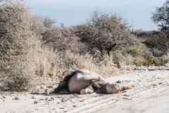 Balanceo gancho-labiado negro del rinoceronte en el polvo Imágenes de archivo libres de regalías