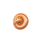 Balanceo marrón del milpiés del primer en el piso aislado en el fondo blanco con la trayectoria de recortes Fotografía de archivo libre de regalías