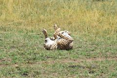 Balanceo masculino del guepardo Imagen de archivo libre de regalías