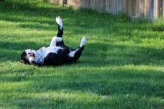 Balanceo portugués del perro de agua en la hierba Fotografía de archivo