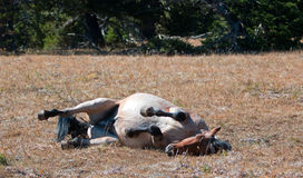 Balanceo rojo de Roan Wild Stallion en la suciedad en la gama del caballo salvaje de la montaña de Pryor en Montana imagen de archivo libre de regalías
