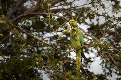 balanceo Rose-anillado del loro del periquito, comiendo en árbol de tamarindo en Djibouti la África del Este Imagen de archivo