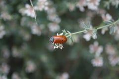 THE BALANCER. Ladybird trying to keep the balance royalty free stock image