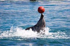 Balancierende Kugel des Delphins auf der Wekzeugspritze, die rückwärts geht Lizenzfreies Stockbild