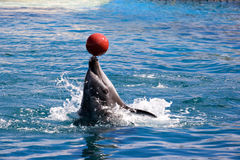 Balancierende Kugel des Delphins auf Wekzeugspritze Lizenzfreie Stockfotos
